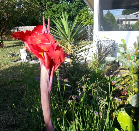 Red Canna Lily, 3/11/13