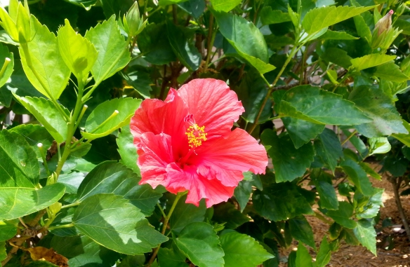 Hibiscus, Disney Vero Beach Resort, 3/31/13