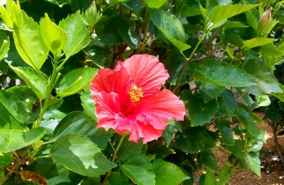 Hibiscus, Disney Vero Beach Resort, 3/31/13