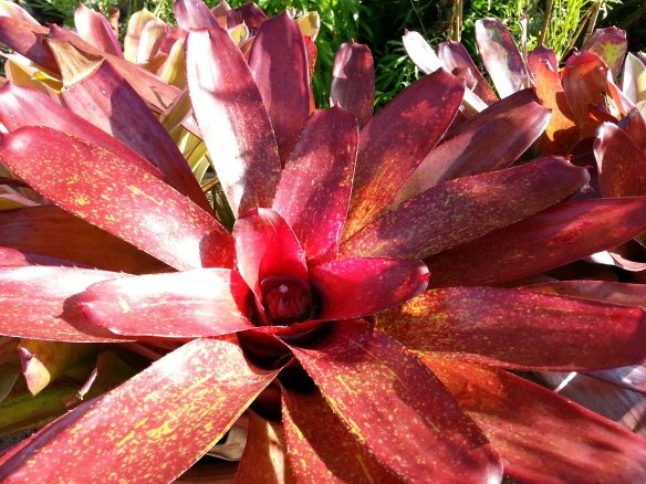 Neoregelia in Bloom, 4/06/13