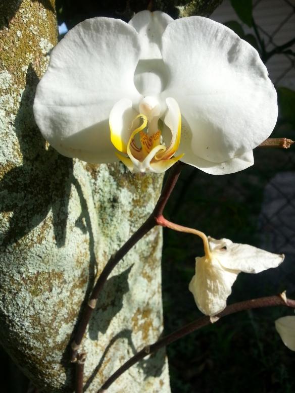 Phalaenopsis Lila Mystique, 04/10/13