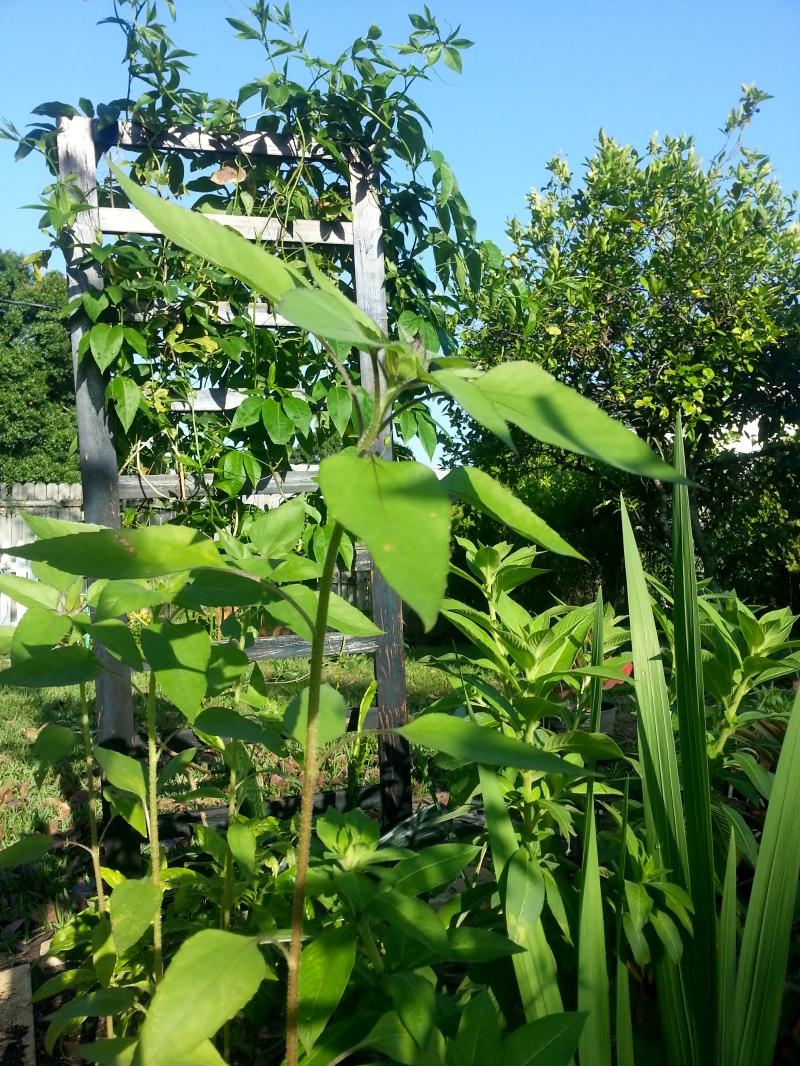 Passiflora vine and sunflowers, 4/25/13