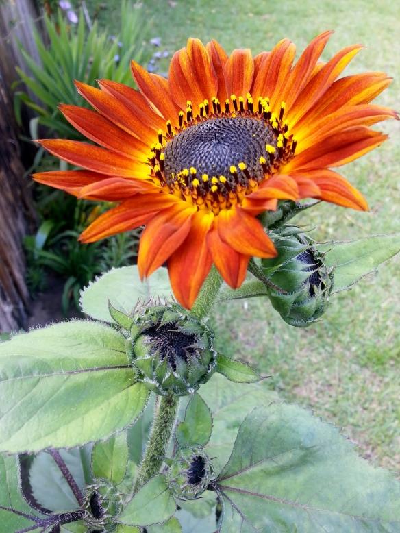 Kong Sunflower, 4/30/13