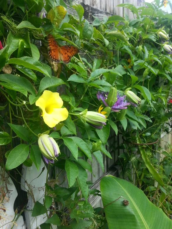 Wild Alamanda, Passiflora Incense, Beach Sunflower, Red Cypress vines with Gulf Fritallary Butterfly, 7/23/13