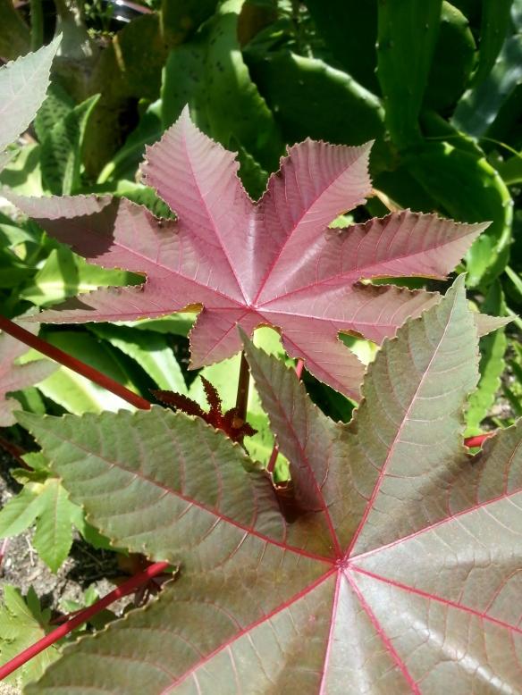 Castor Bean Foliage, 7/23/13
