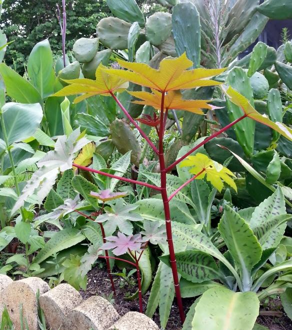Castor Bean Plant, 7/23/13
