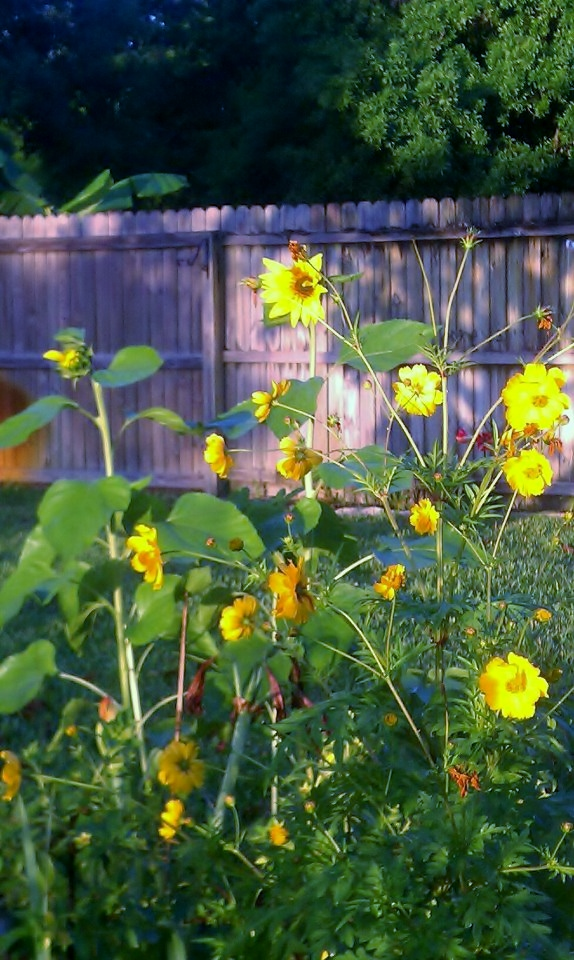 Sunflowers in the rear cutting garden, 7:55am, March 29, 2012