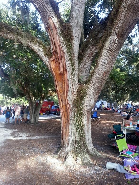 Live Oak, Riverside Park, Vero Beach, 8/17/2013