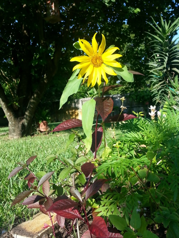 Helianthus Annus, Sunflower, 8/26/13