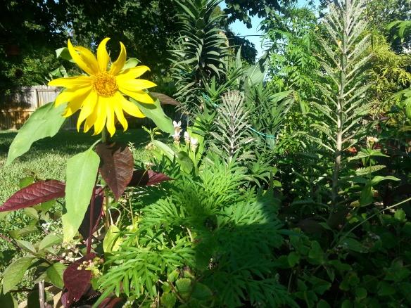 Sunflower in rear cutting garden, 8/26/13