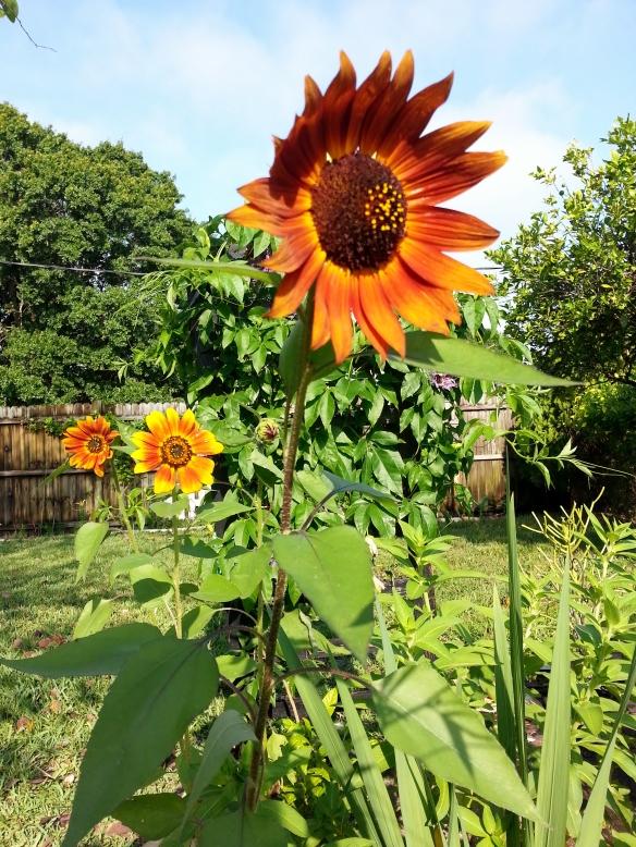 Sunflowers, 5/12/13