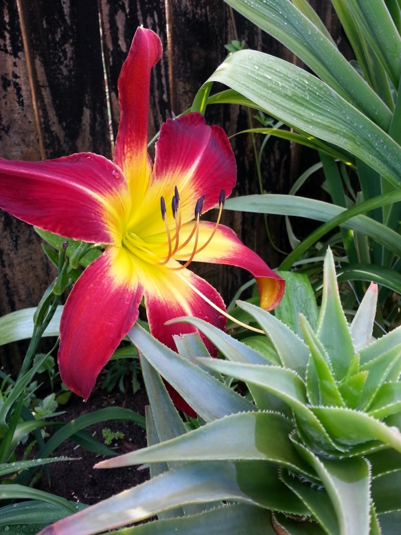 Ruby spider daylily and Aloe ciliaris, 5/12/2013