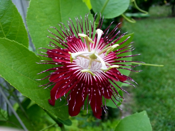 Passiflora Lady Margaret, pic 2, 9/7/13