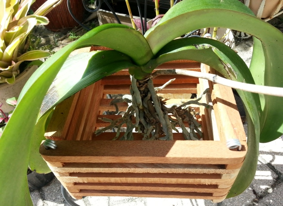 Phalaenopsis in Wooden Basket, 9/22/13