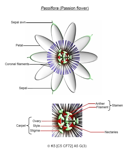 Passiflora_description