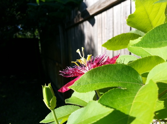Lady Margaret Passion flower and foliage 10/1/13