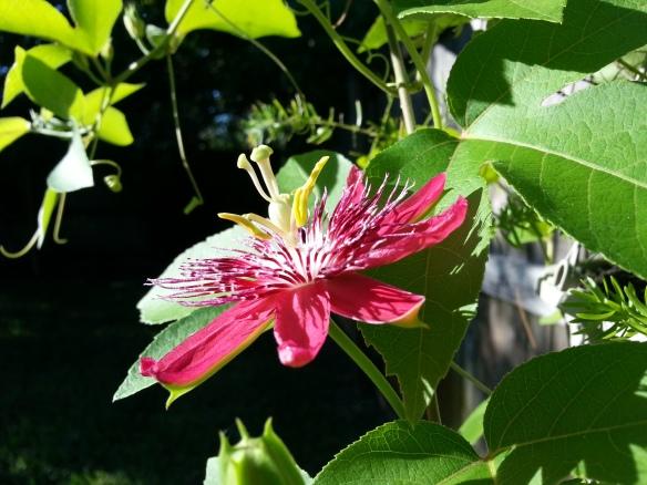 Lady Margaret Passiflora 10/1/13