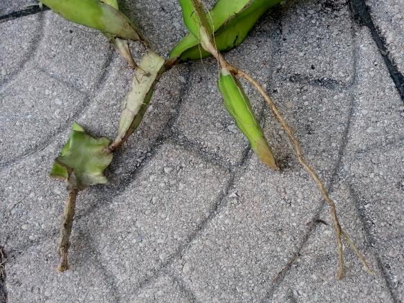 Hylocereus Undatus roots, 10/08/13