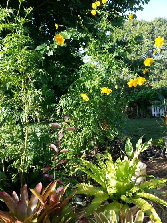 Super Cosmos full plant view, 10/8/13