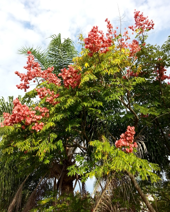 Chinese Flame Tree, 10/24/13