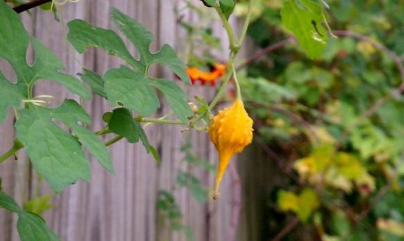 Mormodica Charantia Gourd, 10/21/13