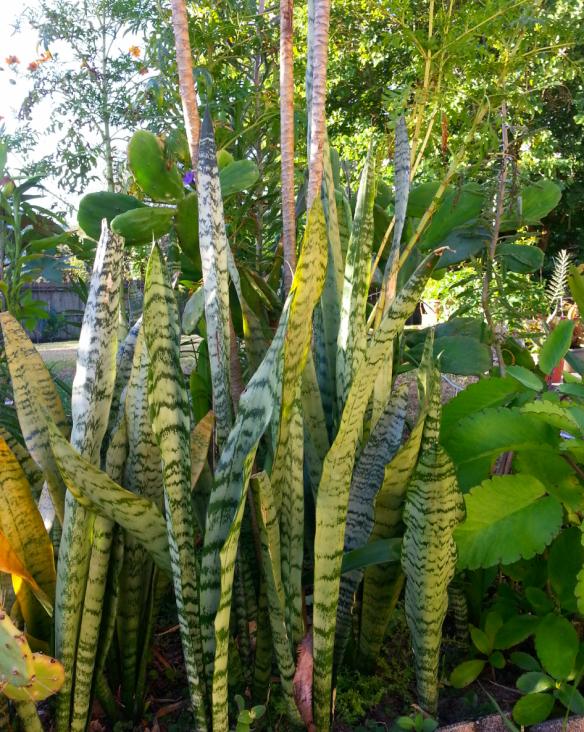 Ranchero Snake Plants, Sansevieria trifasciata, 11/12/13