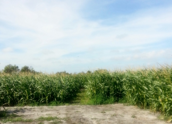 Countryside Citrus maze pic 2,  Vero Beach 11/8/13