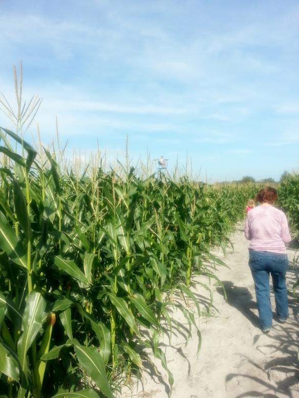 Countryside Citrus maze,  Vero Beach 11/8/13