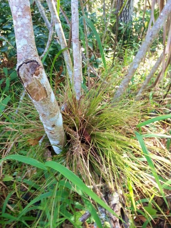 Tillandsia setacea, Lagoon Greenway, 11/17/13