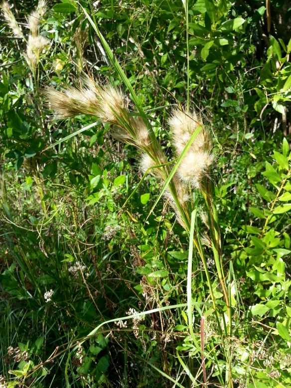 Possible Bushy Bluestem grass, Lagoon Greenway, 11/17/13