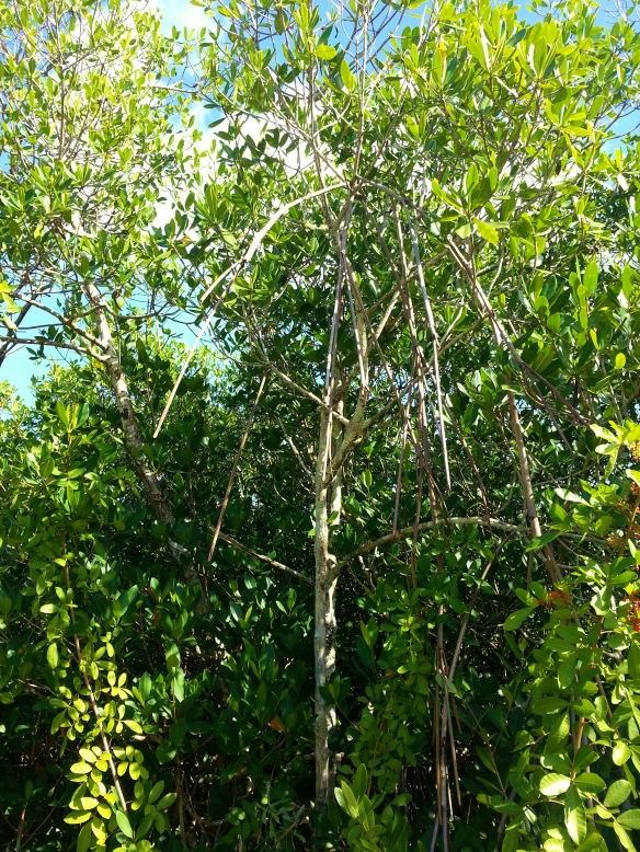 Rhizophora mangle, Lagoon Greenway, 11/17/13