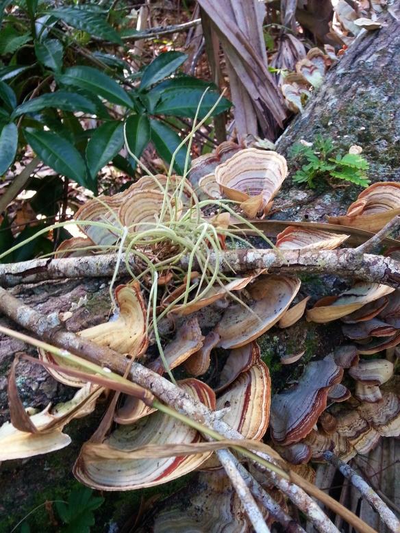Ball moss atop  T. versicolor fungi, Lagoon Greenway, 11/17/2013