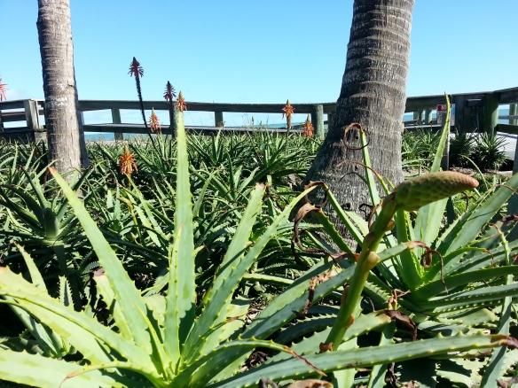 Aloe arborescens, pic 2, Jaycee Beach, 11/23/2013