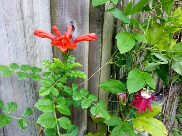 Tecoma capensis and Passiflora lady Margaret,11/26/13
