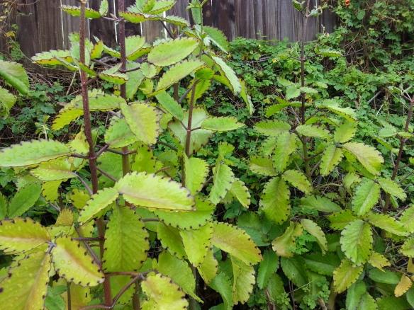 Bryophyllum pinnata, 12/2/13