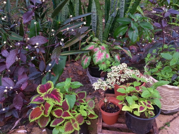 Alternanthera Dentata Purple Knight, Assorted Coleus and Calladium and Syncolostemon Transvaalensis, 12/15/2013