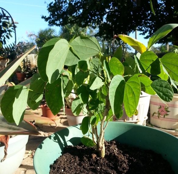 Container germinated B. purpurea, 12/18/13