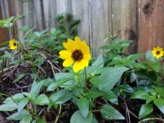 Beach Sunflower, 1/1/14