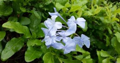 plumbago shrub, 1/1/14
