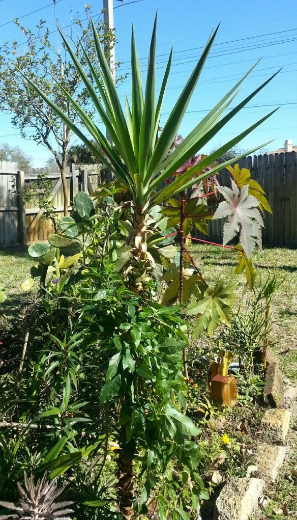 Yucca gigantea , 4yrs old and 7' tall, 1/22/14