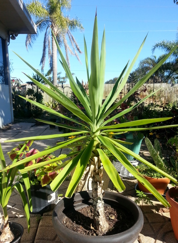 "Yucca gigantea, container grown, 4yrs old and 30"" tall, 1/22/14"