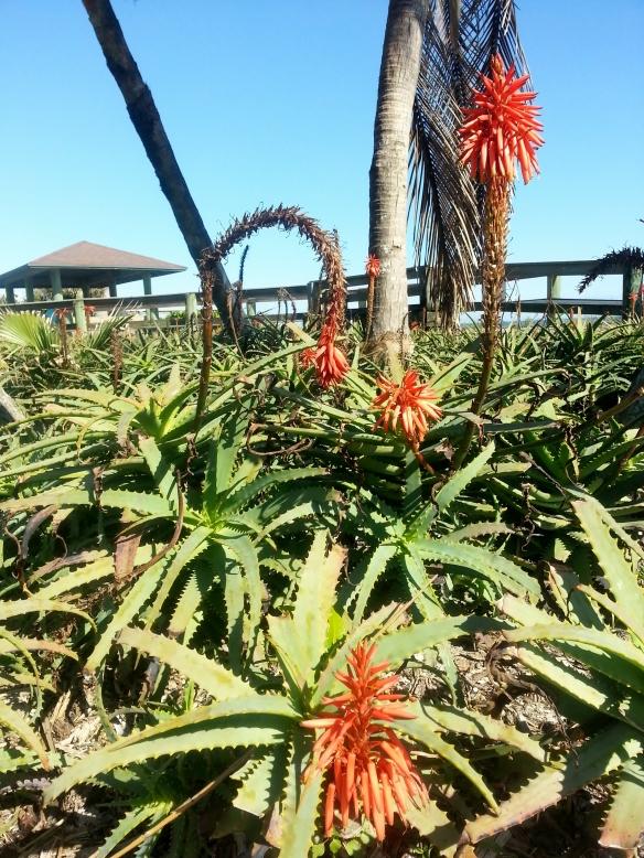 Aloe Arborescens, Jaycee Beach, 1/27/14