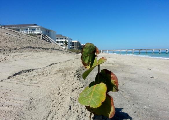 Seagrape, Jaycee Beach