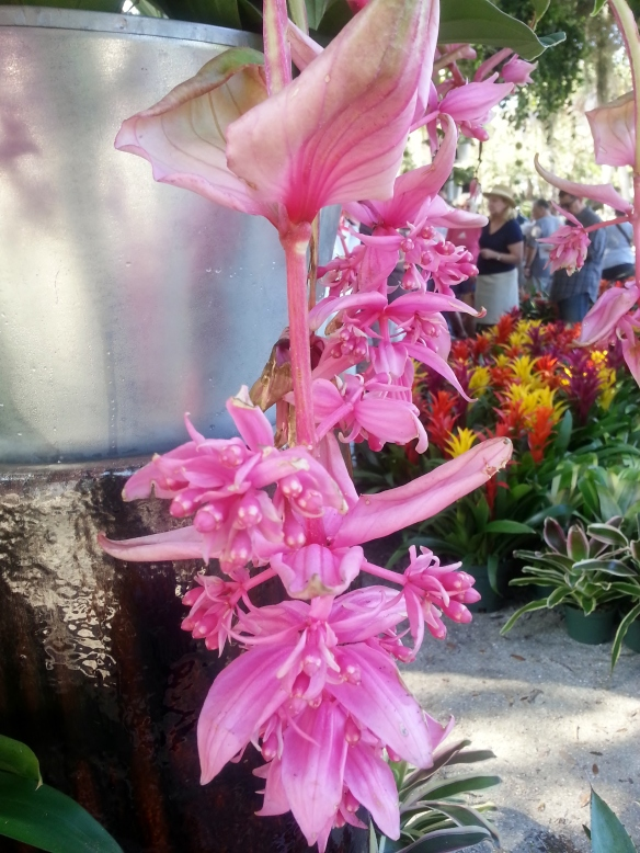 Medinilla magnifica, 2/1/14, Valkaria Gardens Vendor Booth, Gardenfest
