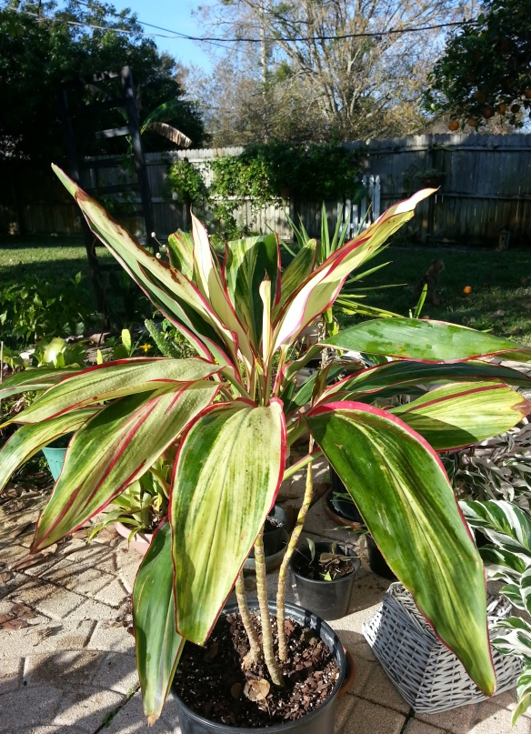 Cordyline White Baby Doll, 2/12/14