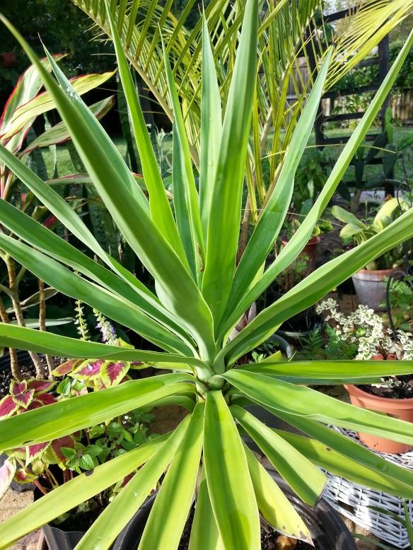 Yucca gigantea, 2/23/14