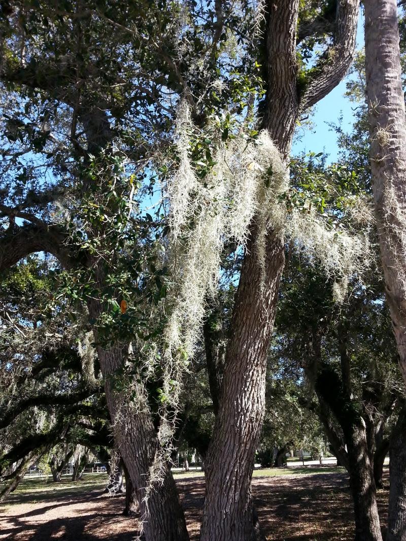 Spanish Moss, Riverside Park, 2/2/14