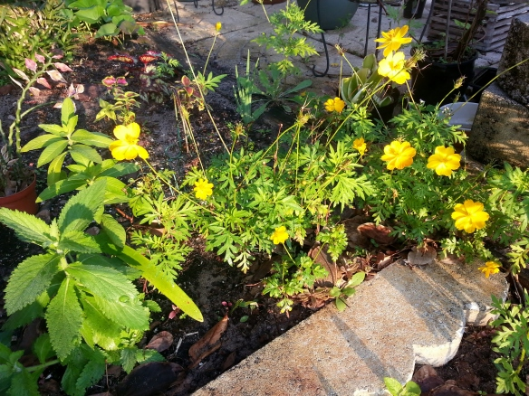 Cosmos grown from seed, 3/10/14