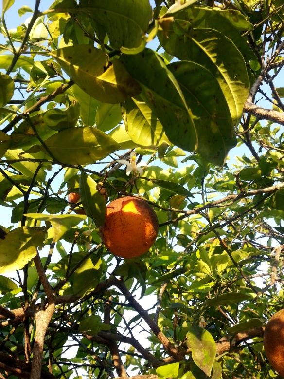 Orange blossom and fruit, 3/10/14