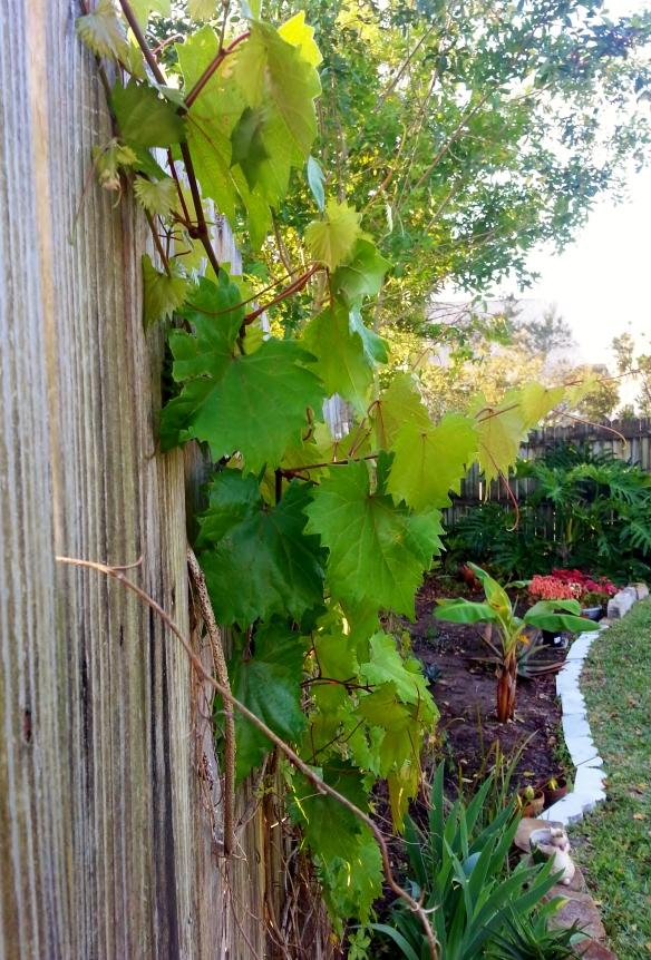 Vitis rotundifolia aka wild muscadine vine, 3/10/14